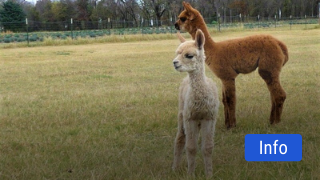 National Alpaca Farm Days